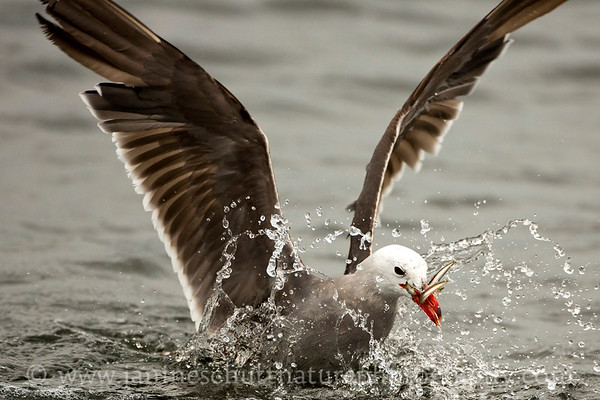 Heermann's Gull in breeding plumage catching forage fish at Fort Flagler State Park near Port Townsend, Washington.