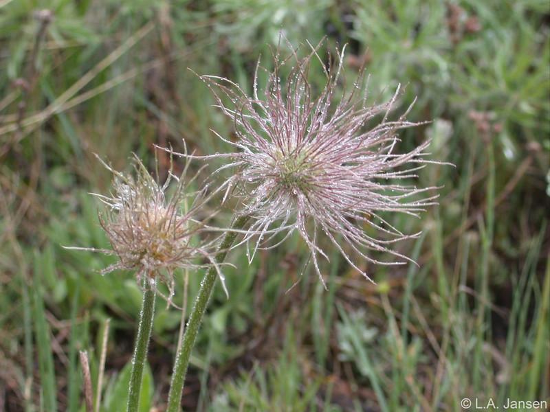 Pasque flower, Vedauwoo, Wyoming