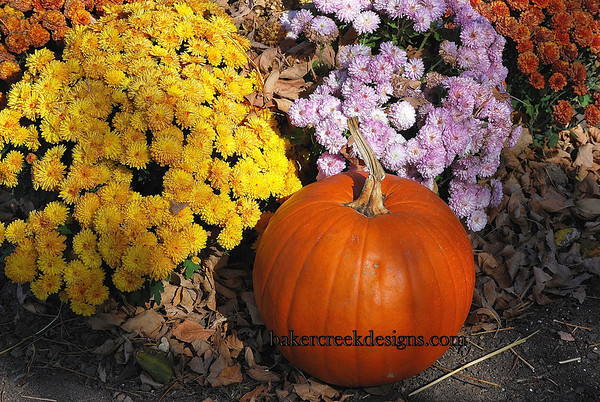 Mums and Pumpkin