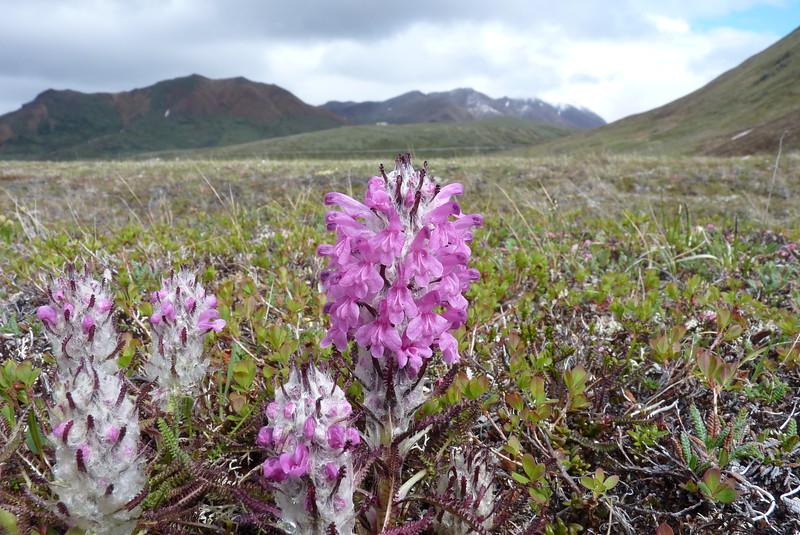 Woolly Lousewort (Pedicularis lanata)