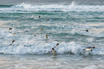Surfing Penguins