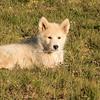A Greenland Husky puppy