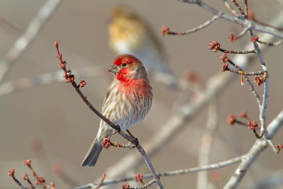 House Finch as Red as I have seen!