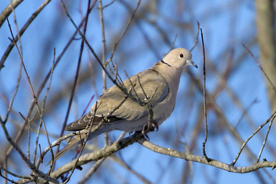 Collared Dove from Linn MO