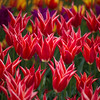 Aladdin Tulips Roozengaarde Website