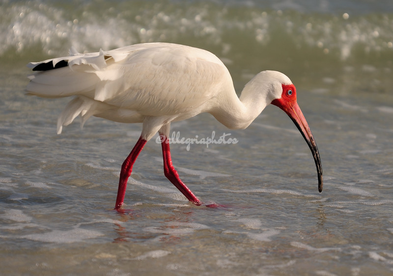 White Ibis, Sanibel