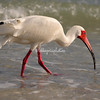 White Ibis, Sanibel, Florida<br /> The white ibis probing for its dinner in the surf.