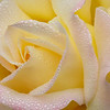 Peace Rose website