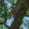 Adult male Leopard Descending a tree, Maasai Mara, Kenya