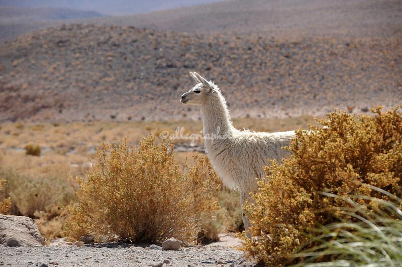 Young llama, Atacama Desert, Chile