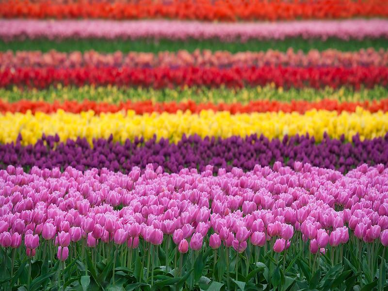 Tulip Town Rainbow copy website