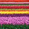 Tulip Town Rainbow copy website