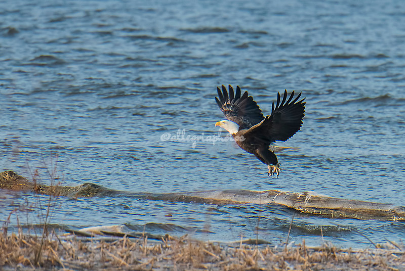 Bald Eagle on the Mississippi River, Illinois, USA
