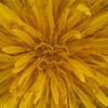 Dandelion Focus Stack sRGB website