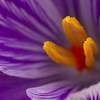 Purple and Gold Crocus website