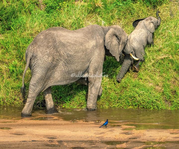 A little push from Mom to get up the bank, Elephants, Maasai Mara, Kenya