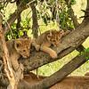 Lion cubs in the branches, Maasai Mara, Kenya