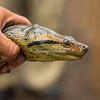 Anaconda, Upper Amazon, Peru