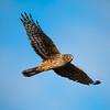 Marsh Hawk Fly By website