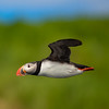 Engey Island Puffin copy website