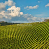 Vineyard, Castellina in Chianti, Tuscany