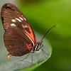 Large Postman Butterfly copy website