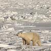 Polar Bear, Churchill, Canada