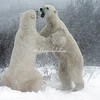 Two male polar bears, Churchill, Canada