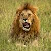 Male Lion, Maasai Mara, Kenya