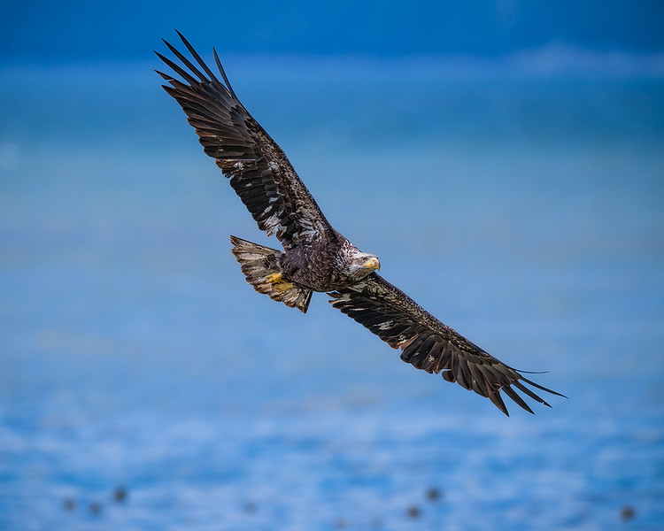 Immature Bald Eagle Seabeck website