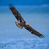 Immature Bald Eagle Seabeck website