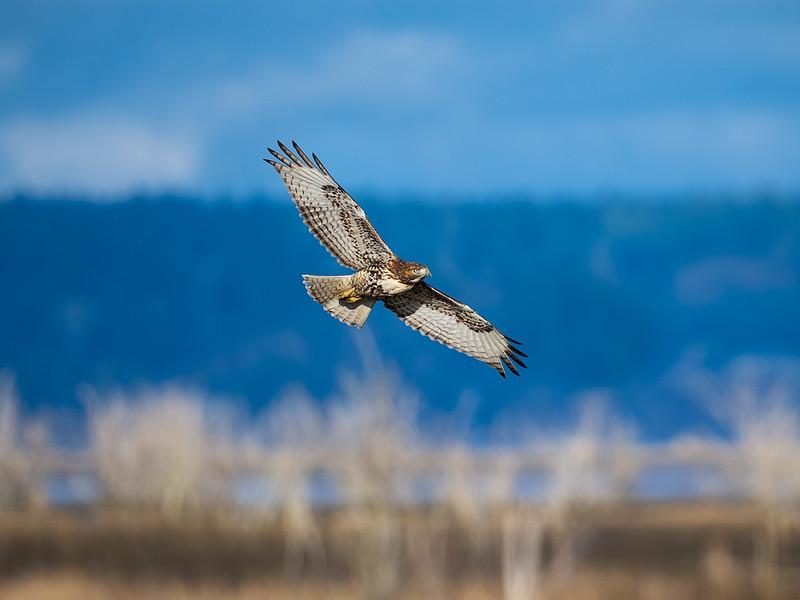 Red-Tailed Hawk Tidal Wetlands copy website
