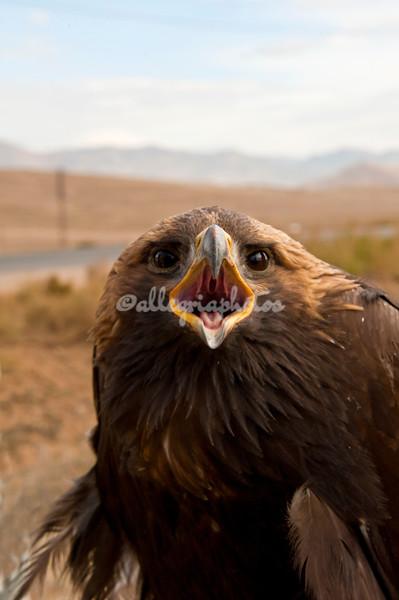 Golden Eagle, Mongolia