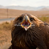Golden Eagle, Mongolia