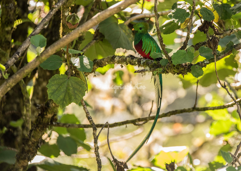 Magnificent Male Quetzal