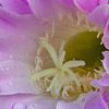 Easter Lily Cactus (Echinopsis eyriesii) website