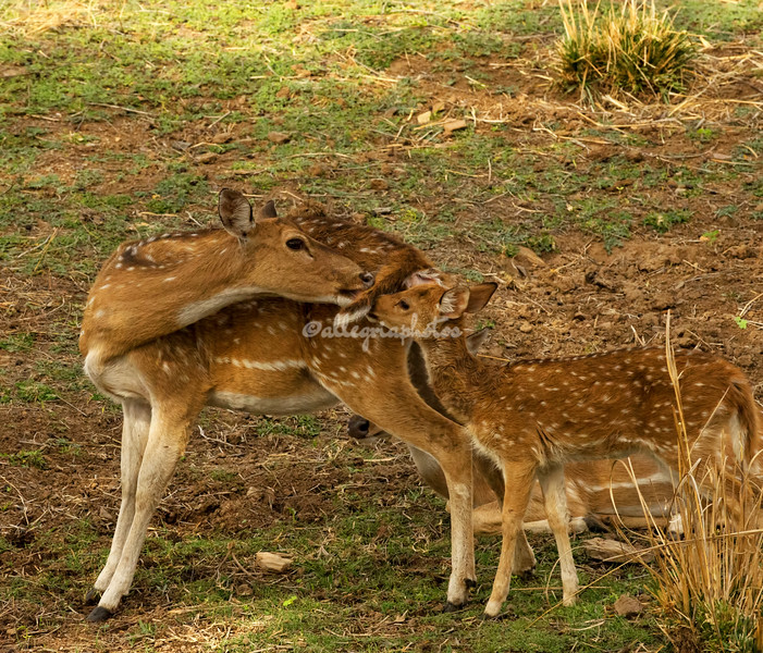 Chital Spotted Deer, India