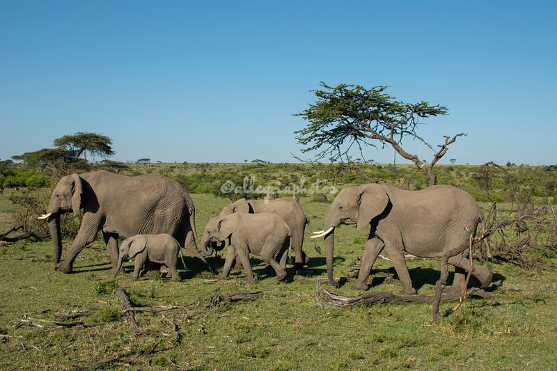 A herd of Elephants, Maasai Mara, Kenya