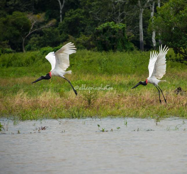 Jabiru Storks, Upper Amazon, Peru