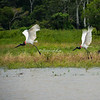 Jabiru Storks, Upper Amazon, Peru