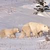 Mother and cub polar bears, Churchill, Canada