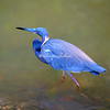 Little Blue Heron, Sanibel, Florida