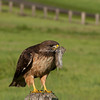 Red Tailed hawk with mouse