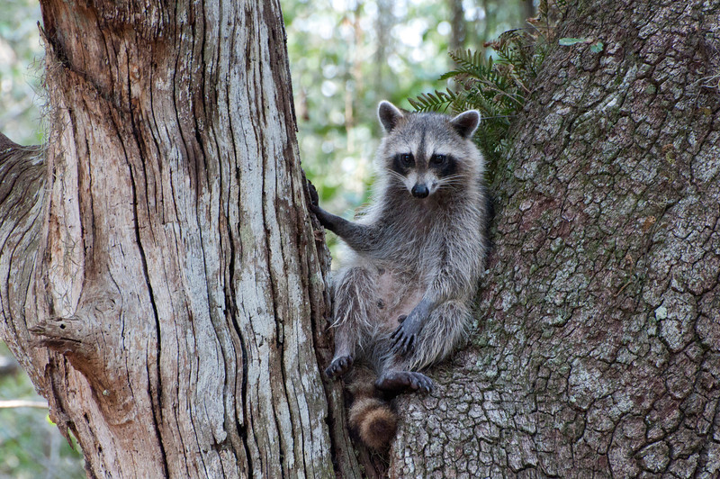 This racoon sat in this tree as if she was a on a photo shoot.