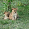 Two Lion cubs a few weeks old, Maasai Mara, Kenya