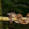 Red boa Constrictor, Upper Amazon, Peru