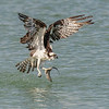 Osprey taking off from the ocean with a fish, Captiva Island, Florida, USA