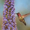 Anna's Hummingbird, California