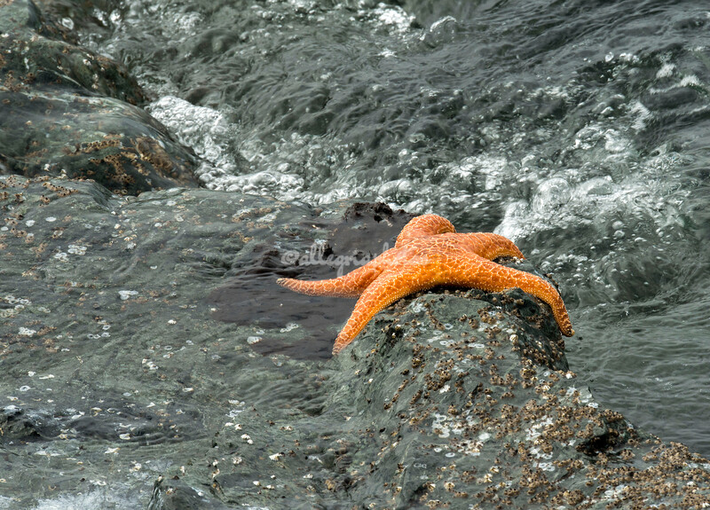 Starfish, Humboldt Bay, California