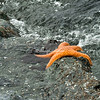 Starfish, Humboldt Bay, California